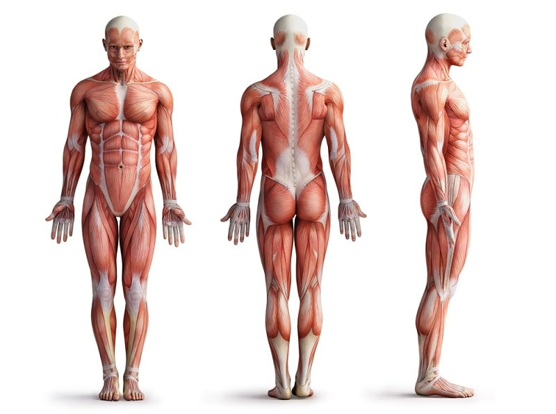 how does the muscular system work