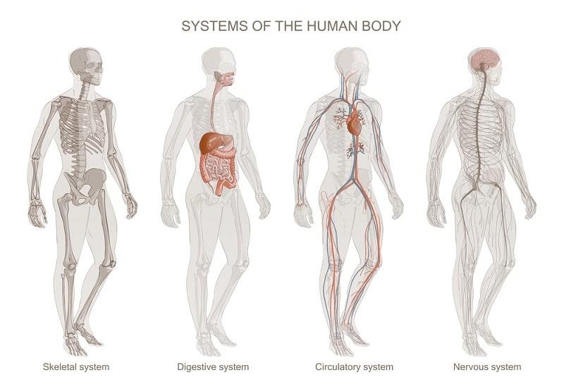 SYSTEM human body